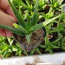 미니알로에(소)/다육식물/선인장/공기정화 다육식물