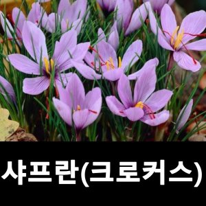 샤프란 크로커스 꽃구근 중사이즈 15개묶음