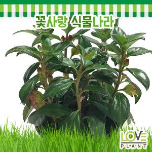 블랙네마탄서스-반음지식물/실내식물/골드피쉬