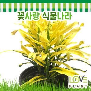 바나나크로톤(트위스트크로톤)-크로톤/꼬불꼬불한잎