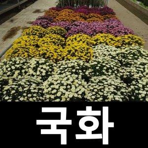 국화 꽃 야생화 소국 7치화분 흰색 3개묶음