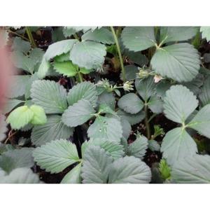 딸기모종 (설향) 12주/딸기 모종/품종:설향