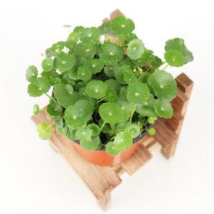 갑조네 워터코인 실내공기정화식물 수경재배 수생식물