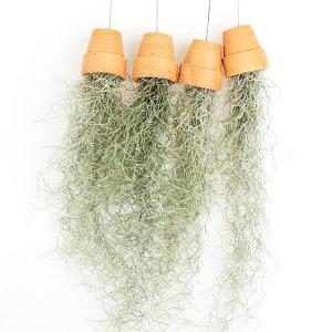 갑조네 수염틸란드시아 토분(소품) 실내공기정화식물