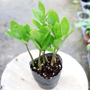 갑조네 금전수 소품 돈나무 실내공기정화 먼지먹는식물