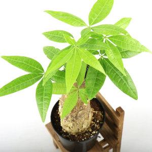 갑조네 파키라 먼지먹는식물 공기정화 실내 인테리어