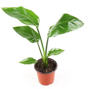 갑조네 극락조 공기정화식물 인테리어화분 관엽식물
