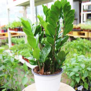 갑조네 금전수 중품 돈나무 실내공기정화 먼지먹는식물