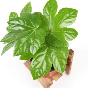 갑조네 팔손이 소품 먼지먹는식물 천연가습기 공기정화