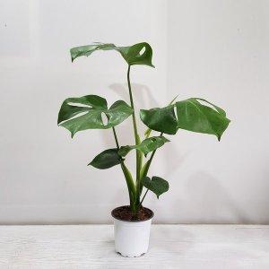 (온누리꽃농원) 몬스테라(한정특가)/공기정화식물