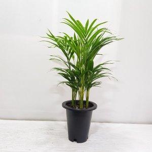 (온누리꽃농원) 아레카야자/공기정화식물/반려식물