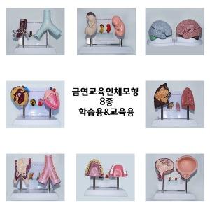 금연교육인체모형 기관지 방광 폐 동맥 심장 치아