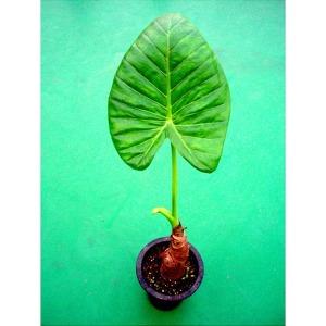 포도밭 알로카시아 종자 화분 오도라 공기정화식물