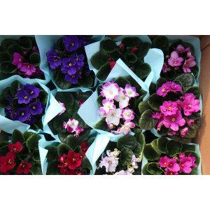 갑조네 바이올렛 (랜덤) 다양한색상의꽃 공기정화식물