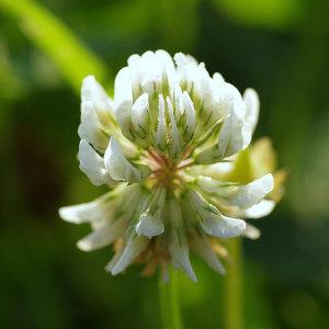 토끼풀 화이트클로버 1kg 야생화 씨앗 꽃씨