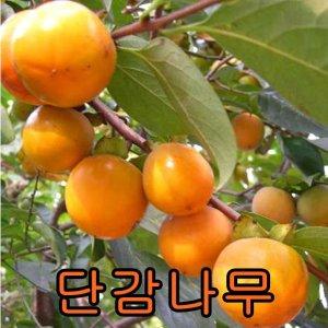 나무야 단감나무3년분/철쭉/묘목/유실수/감나무/나무