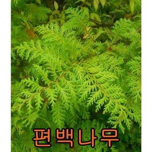 편백3년포트묘10주/살구/자두/앵두/사과/청매실/묘목