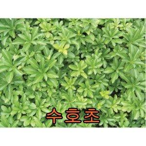 나무야 수호초포트10주//묘목/남천/나무/벌나무/살구