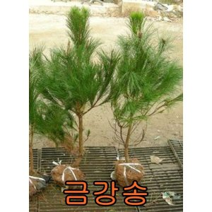 나무야 금강송1m/소나무/묘목/유실수/블루베리/나무