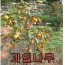 바로열리는과일나무모음/살구/자두/앵두/체리/사과/배