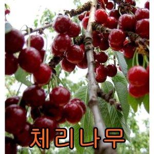 체리5그루/살구/자두/체리/유실수/묘목/나무묘목/나무