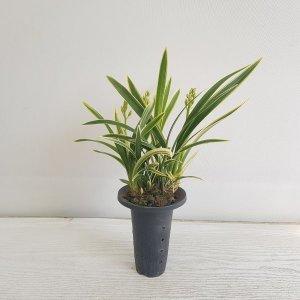 (온누리꽃농원) 황제/동양난/공기정화식물/반려식물
