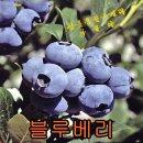 블루베리5주/묘목/자두/체리/모종/사과/배/감/앵두
