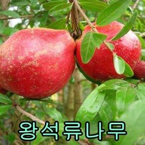 나무야 슈퍼왕석류 삽2년특묘/나무/묘목/유실수/석류