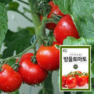 마이플랜트 방울토마토 채소 과일 씨앗 베란다 텃밭