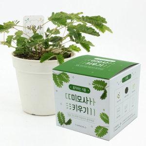 (틔움세상)움직이는 식물_미모사 키우기