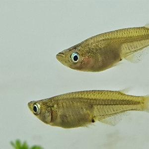 대륙 송사리 민물고기