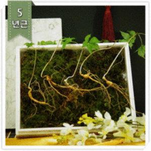 강원산삼초 산양삼 산양산삼 장뇌삼 선물 5년근 5뿌리