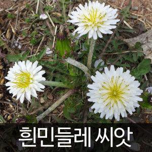 하얀민들레씨앗 흰 민들레씨앗 dandelion seed 50알