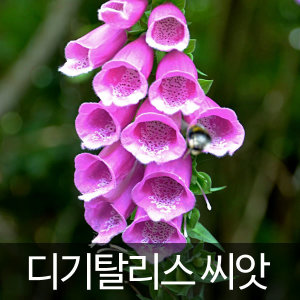 디기탈리스씨앗 디기탈리스 씨앗 꽃씨( 100알 )