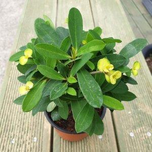 꽃기린화이트포트 꽃기린 노랑화이트꽃 포트