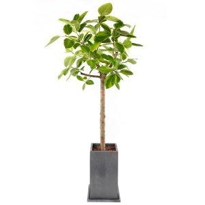 벵갈 고무나무- 대형