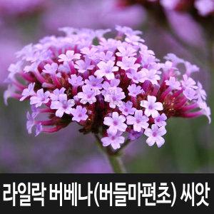 버들마편초 씨앗 라일락 버베나 씨앗 꽃씨 100알