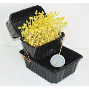 뚜껑 콩나물 키우기 1인용 재배 기르기 수경 새싹