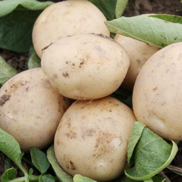 (수량한정) 수미 감자 20kg(중) 9900원