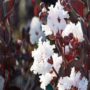 자엽백일홍(블랙다이아몬드)흰색꽃삽목2년