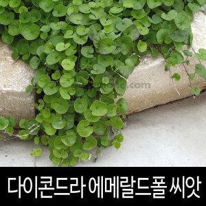 다이콘드라 씨앗 에메랄드폴 dichondra seeds 10알