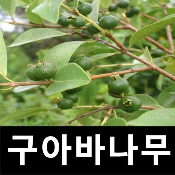 구아바나무 묘목 삽목6년 화분 키1m