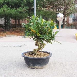 열매 치자 나무 인테리어 식물 분재 화분