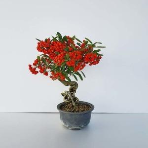 피라칸타 피라칸사스 분재 빨간 열매 나무