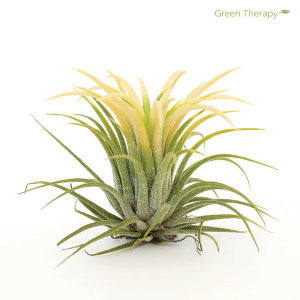 드루이드 틸란드시아 공기정화식물 애완식물 황금틸란