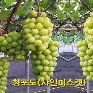 샤인머스켓 삽목2년(포트묘) 청포도/씨없는포도/묘목