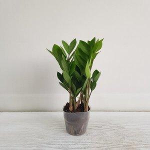 (온누리꽃농원) 금전수/인테리어/공기정화식물