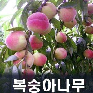 복숭아나무(천도) 묘목 접1년 특묘(1등묘)