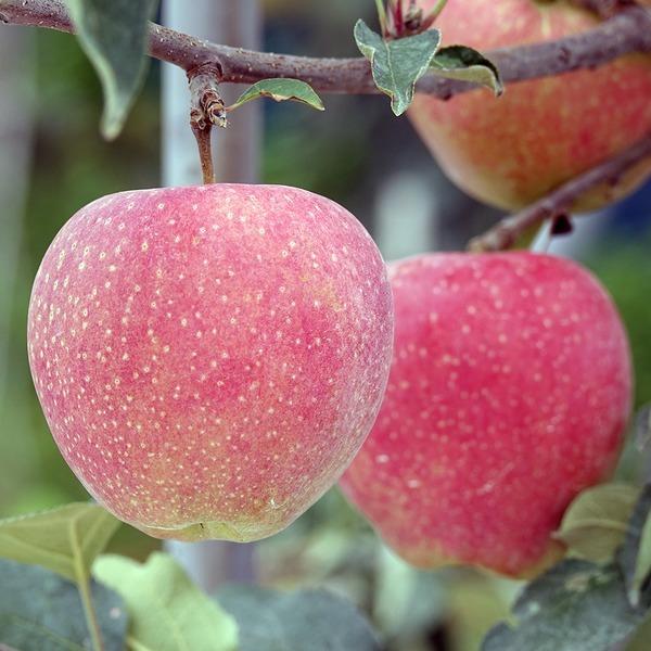 금마농장 사과 선물세트 5kg 14과