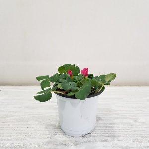 (온누리꽃농원) 참사랑초/공기정화식물/반려식물
